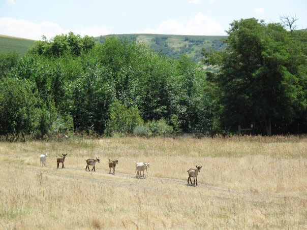 Photo of Goats Walking in a Line in Summer, Monteillet Farm