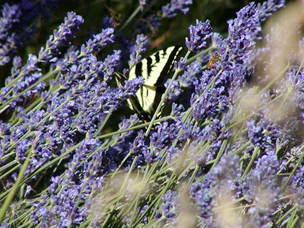 Lavender, Bee and Butterfly at Monteillet Fromagerie