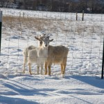 Two Goats in Winter, Monteillet Fromagerie Photo by Steve Scardina