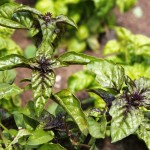 Basil, Monteillet Farm Gardens - Photo by Cameron Riley (Pastry Ninja Photography)