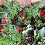 CSA Vegetable Boxes - Monteillet Farm Gardens