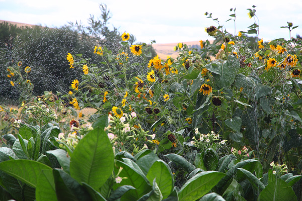 Monteillet Farm Gardens with Sunflowers - Photo by Cameron Riley (Pastry Ninja Photography)