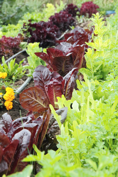 Lettuce, Monteillet Farm Gardens - Photo by Cameron Riley (Pastry Ninja Photography)