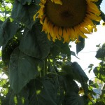Sunflower - Monteillet Farm Gardens