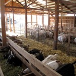 Photo of Sheep and Goats in the New Barn