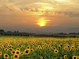 Sunflowers - Lullaby Winery | Monteillet Fromagerie Event
