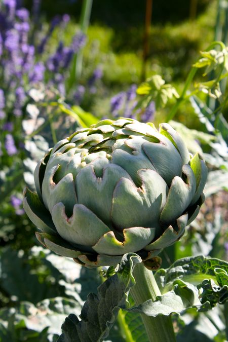 photo of artichoke in Nourish Garden—2011 Outstanding in the Field Dinner—photo by The Farm Chicks