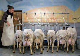 photo: Milking time by Steven Scardina | Monteillet Fromagerie, Dayton WA