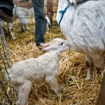Goat and Kid, Monteillet Fromagerie Photo by Steve Scardina