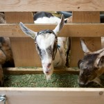 Three Goats, Monteillet Fromagerie Photo by Steve Scardina