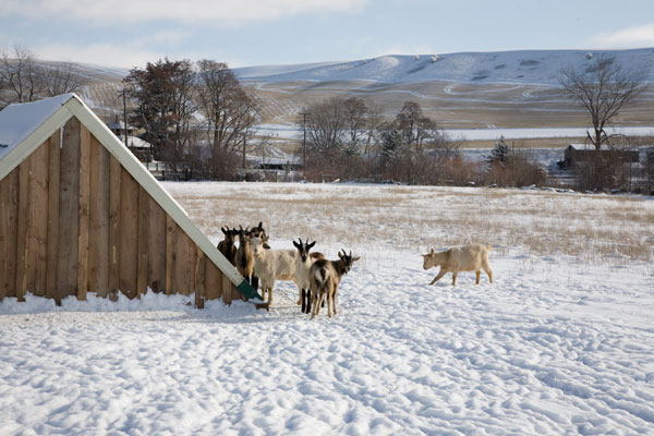 Goats in Winter, Monteillet Fromagerie Photo by Steve Scardina