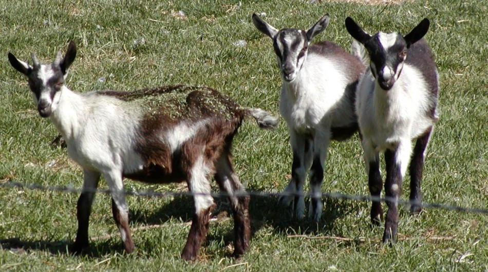 Kid Goats on the Monteillet Farm