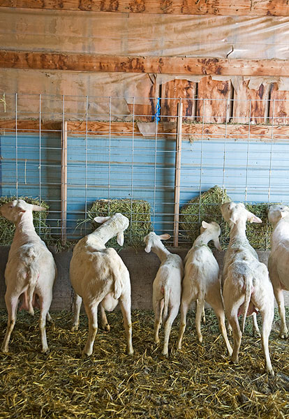 Goats, Monteillet Fromagerie Photo by Steve Scardina