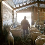 Pierre-Louis Tends the Sheep in the Barn Photo by Steve Scardina