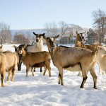 Herd of Goats in Winter Photo by Steve Scardina.