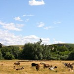 photo of goats in field at Monteillet Fromagerie—2011 Outstanding in the Field Dinner—photo by The Farm Chicks