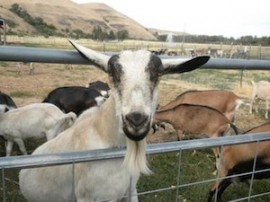 photo: goat at Monteillet Fromagerie, by Alison Stein Wellner