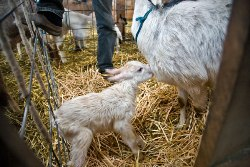 Goat and kid at Monteillet Fromagerie, Dayton, WA / photo by Steve Scardina